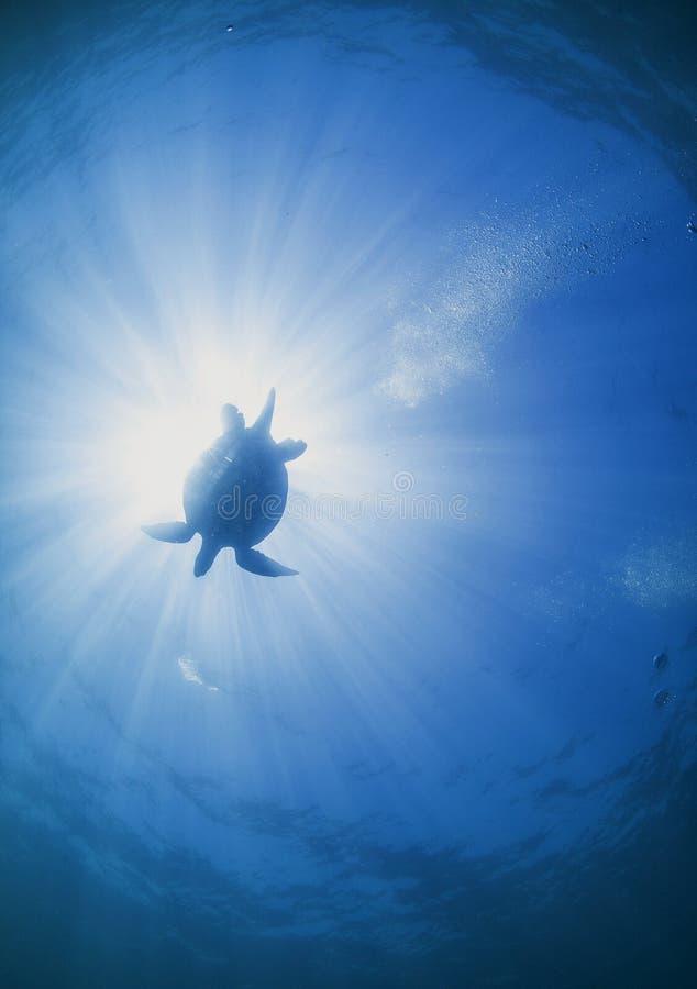 Schildkröte, die über Sonnendurchbruch schwimmt lizenzfreies stockbild
