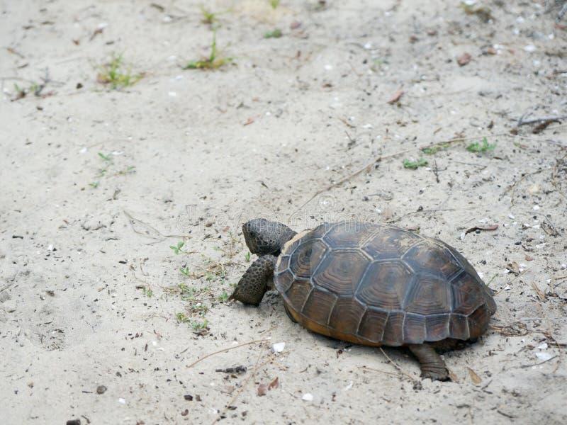 Schildkröte, die auf den Sand auf einem Strand geht lizenzfreies stockbild