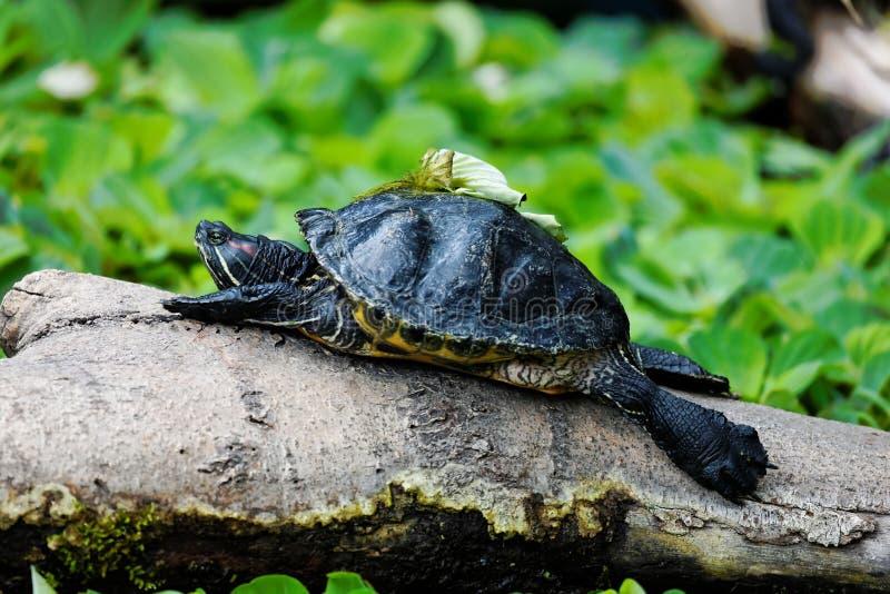 Schildkröte, die auf einem Protokoll sich aalt stockbilder
