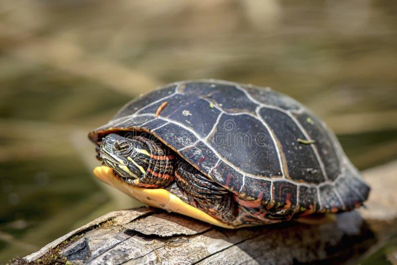 Schildkröte, die auf einem Protokoll sitzt lizenzfreie stockbilder