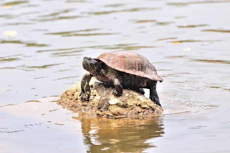 Schildkröte, die auf Felsen sitzt lizenzfreies stockbild