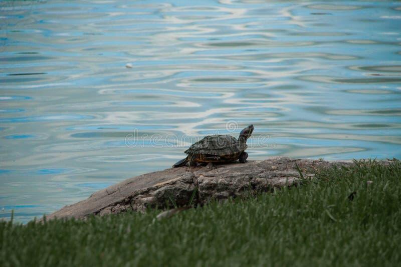 Schildkröte, die auf Seeufer stillsteht lizenzfreie stockfotos