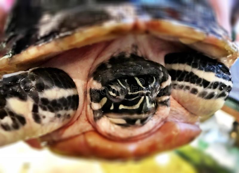 Schildkröte, die aus sein Oberteil herauskommt stockbild