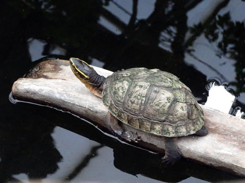 Schildkröte, die in der Sonne sich aalt stockfotografie