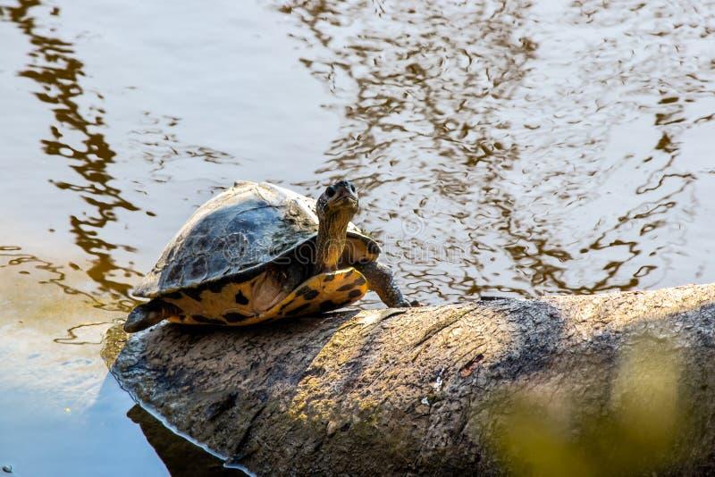 Schildkröte, die einen Baum nahe Fluss klettert stockbilder