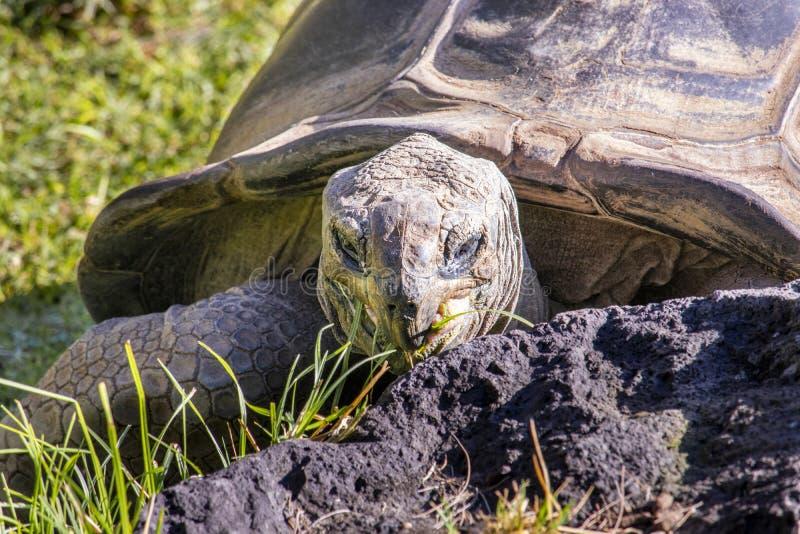 Schildkröte, die Gras am Zoo isst stockfoto