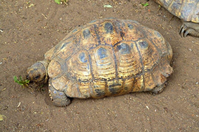 Schildkröte, die Löwenzahn-Unkraut isst lizenzfreies stockfoto