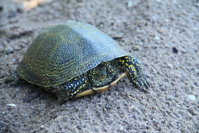 Schildkröte in Donau-Delta lizenzfreies stockfoto