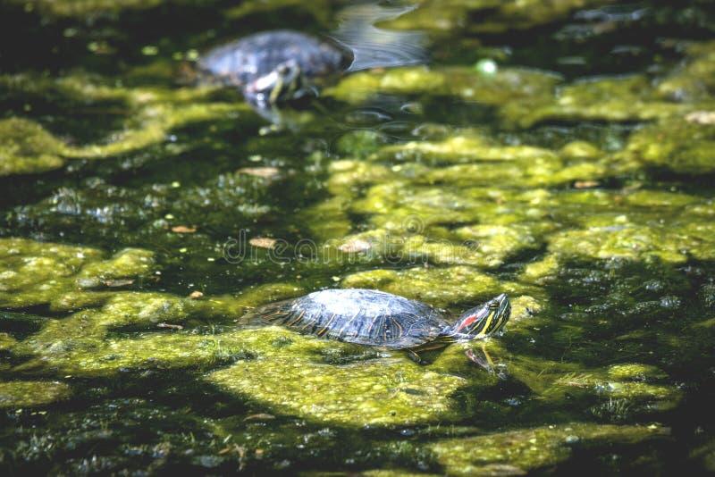 Schildkröte in einem Sumpf mit Grünalgen lizenzfreie stockfotos