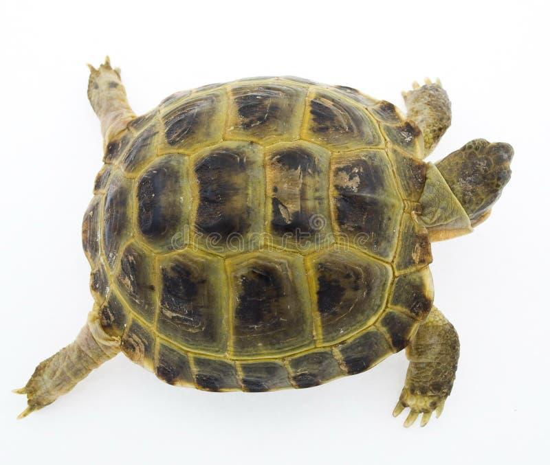 Schildkröte getrennt auf Weiß lizenzfreie stockbilder