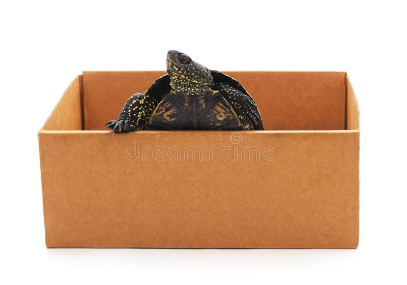 Schildkröte im Kasten stockbild