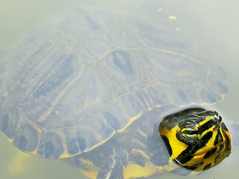 Schildkröte im Meer stockbild