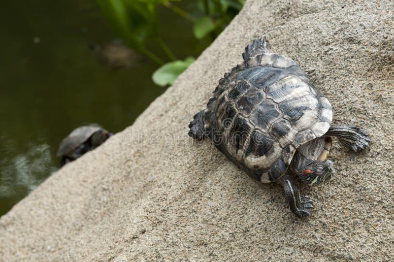 Schildkröte im Rennen stockbild