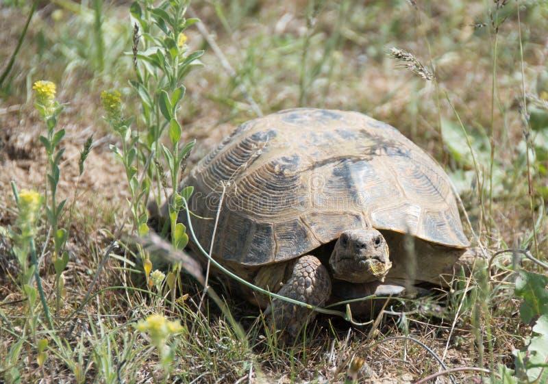 Schildkröte im Steppengras an einem sonnigen Tag lizenzfreie stockfotos
