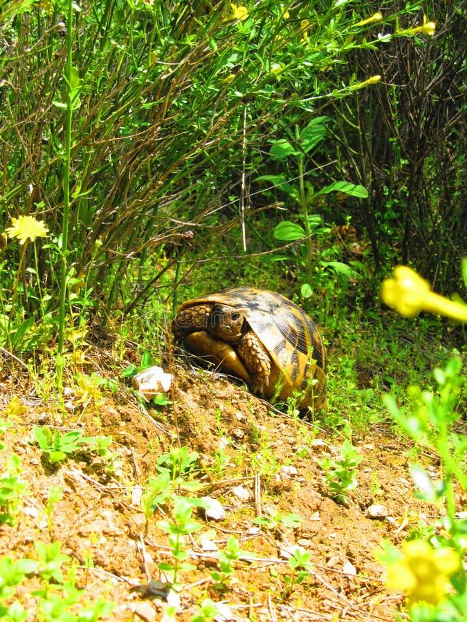 Schildkröte im Wald lizenzfreie stockbilder