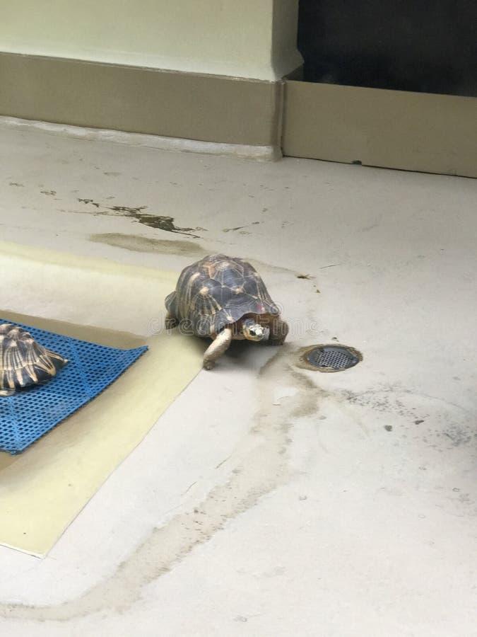 Schildkröte im Wasser stockfoto