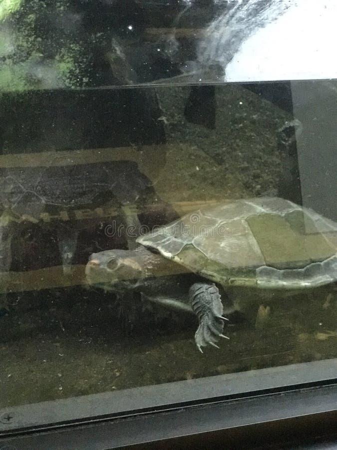 Schildkröte im Wasser lizenzfreie stockbilder