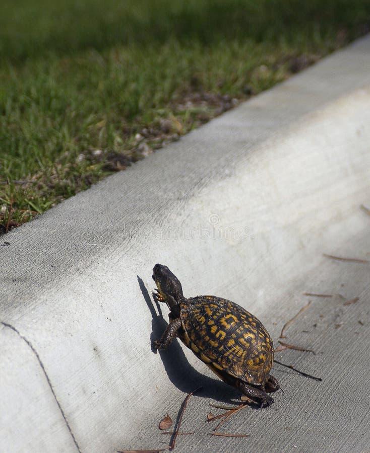 Schildkröte kreuzt Straße lizenzfreies stockfoto