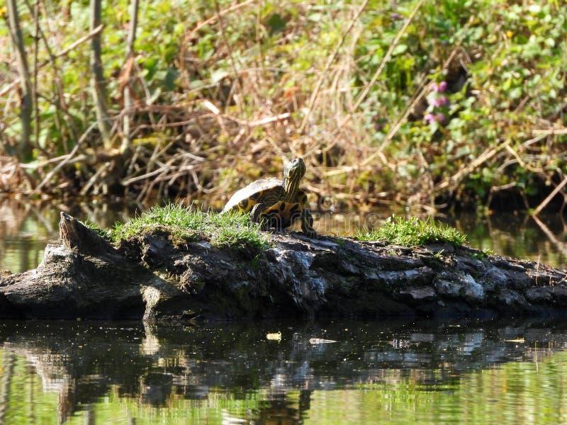 Schildkröte morgens lizenzfreie stockfotos