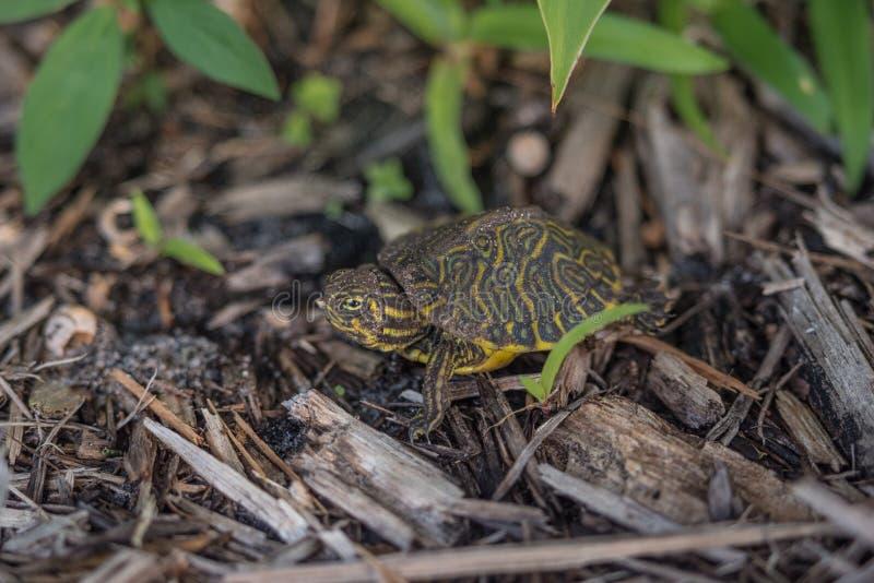 Schildkröte, Ostriver cooter lizenzfreie stockbilder