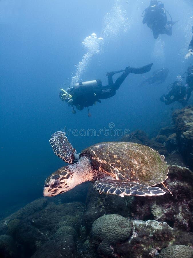 Schildkröte und Taucher stockfotos