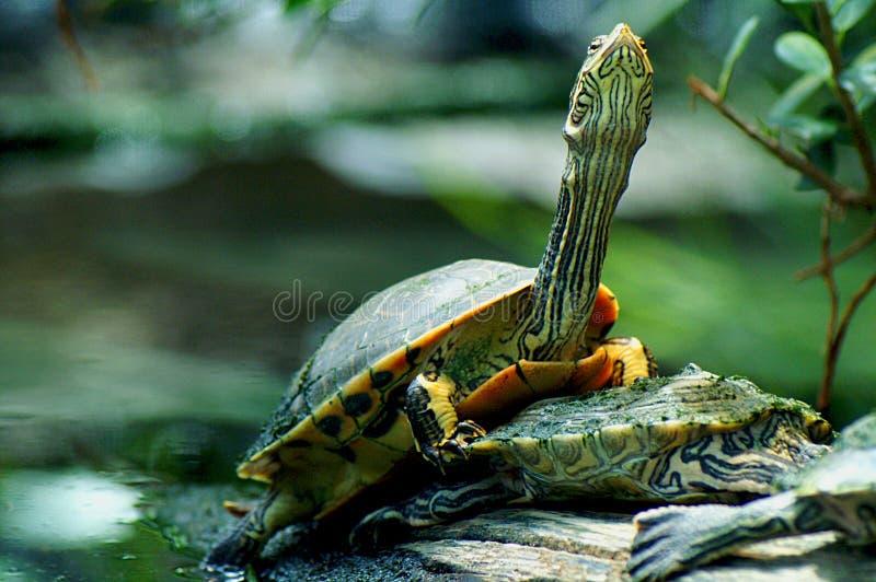 Schildkröteleistung stockfoto