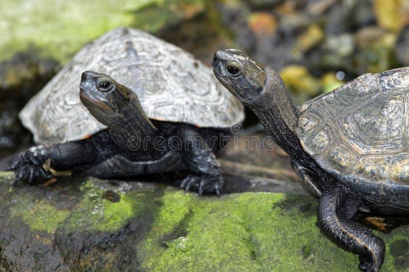 Schildkröten lizenzfreie stockfotos
