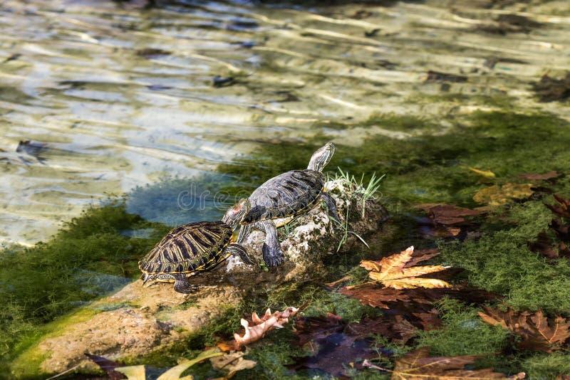 Schildkröten auf dem Stein stockbild