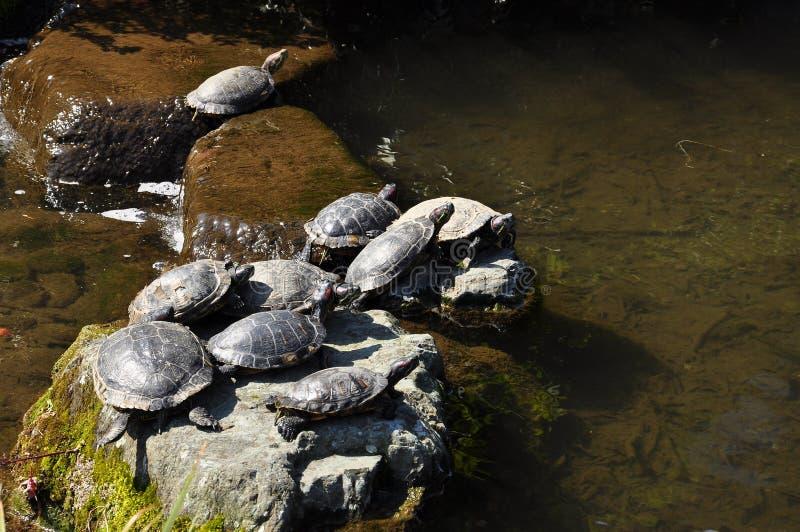 Schildkröten auf einem Felsen lizenzfreie stockbilder