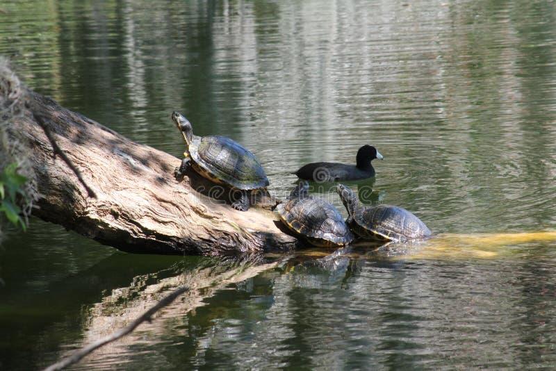 Schildkröten auf Klotz und eine Ente lizenzfreie stockfotos