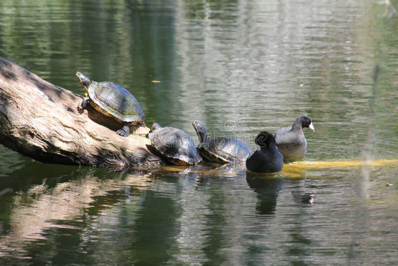 Schildkröten auf Klotz und eine Ente zwei lizenzfreie stockfotos