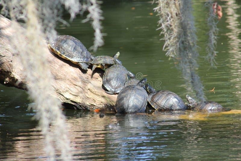 Schildkröten auf Silver Lake lizenzfreie stockfotos