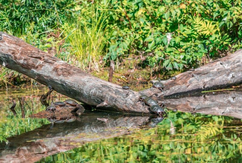 Schildkröten, die den Kopfsprung am Gummilack Fauvel nehmen lizenzfreies stockbild