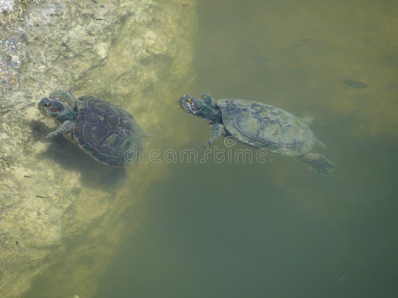 Schildkröten, die in der Lagune schwimmen stockbilder