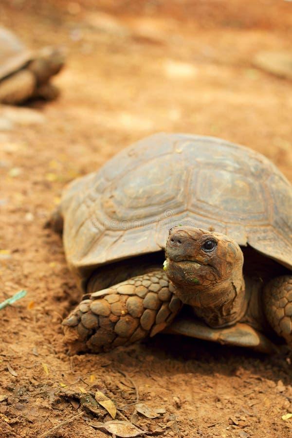 Schildkröten, die in die Natur kriechen lizenzfreie stockfotos
