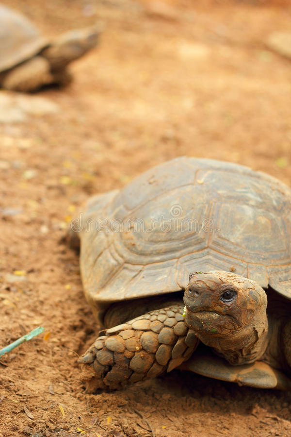Schildkröten, die in die Natur kriechen lizenzfreie stockbilder