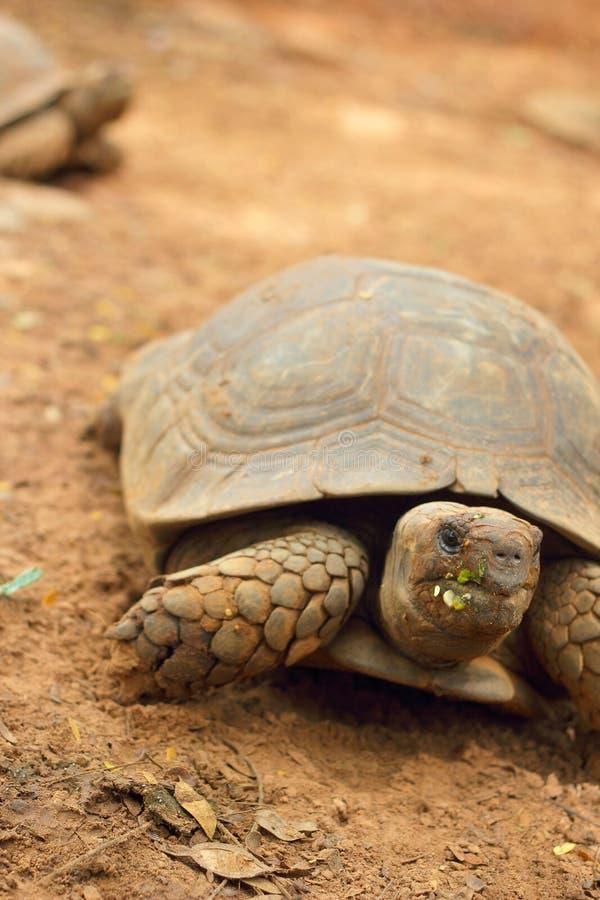 Schildkröten, die in die Natur kriechen lizenzfreie stockfotografie