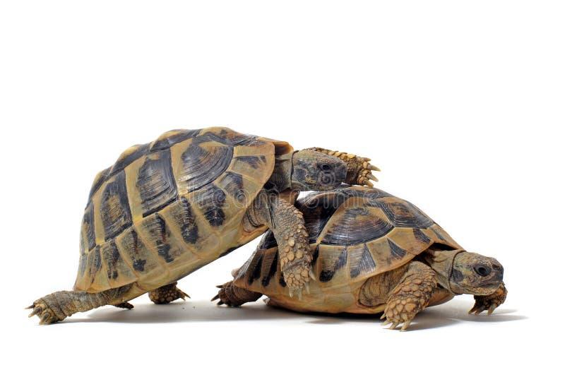 Schildkröten, die Geschlecht haben lizenzfreie stockbilder