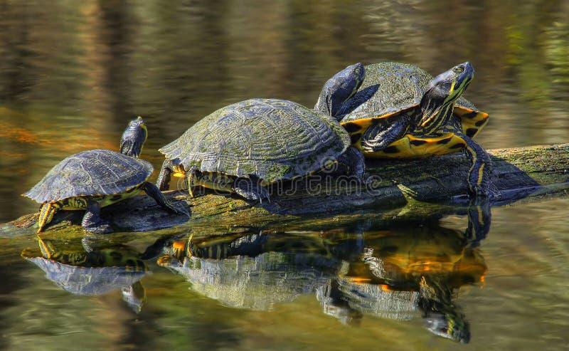Schildkröten-Familie auf einem Klotz lizenzfreies stockfoto