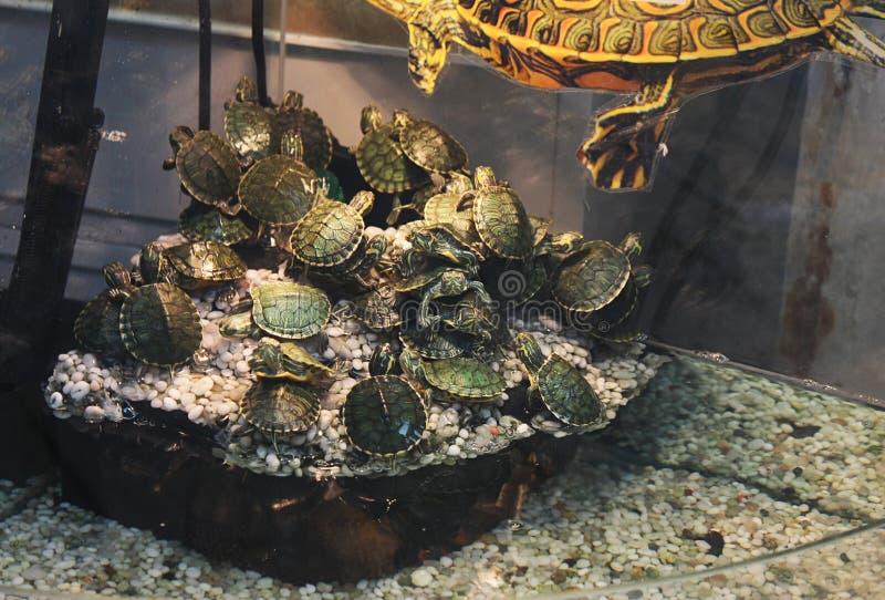 Schildkröten im Geschäft für Haustiere lizenzfreie stockfotos