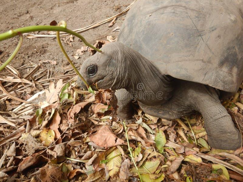 Schildkröten Seychellen lizenzfreie stockfotos
