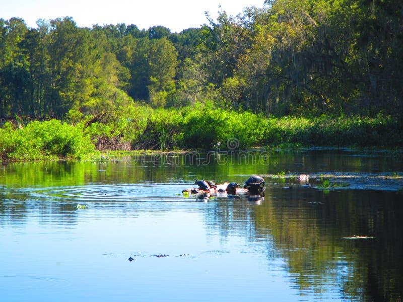 Schildkröten stehen auf einem Klotz, entlang der Bank von einem Florida-Fluss still lizenzfreies stockfoto