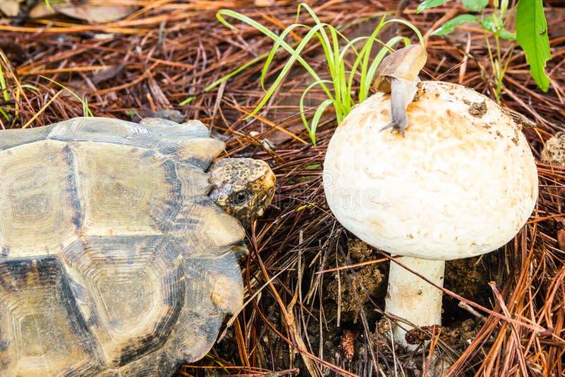 Schildkröten werden Pilze essen lizenzfreie stockfotos