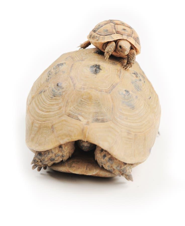 Schildkrötenbergsteiger stockfotografie