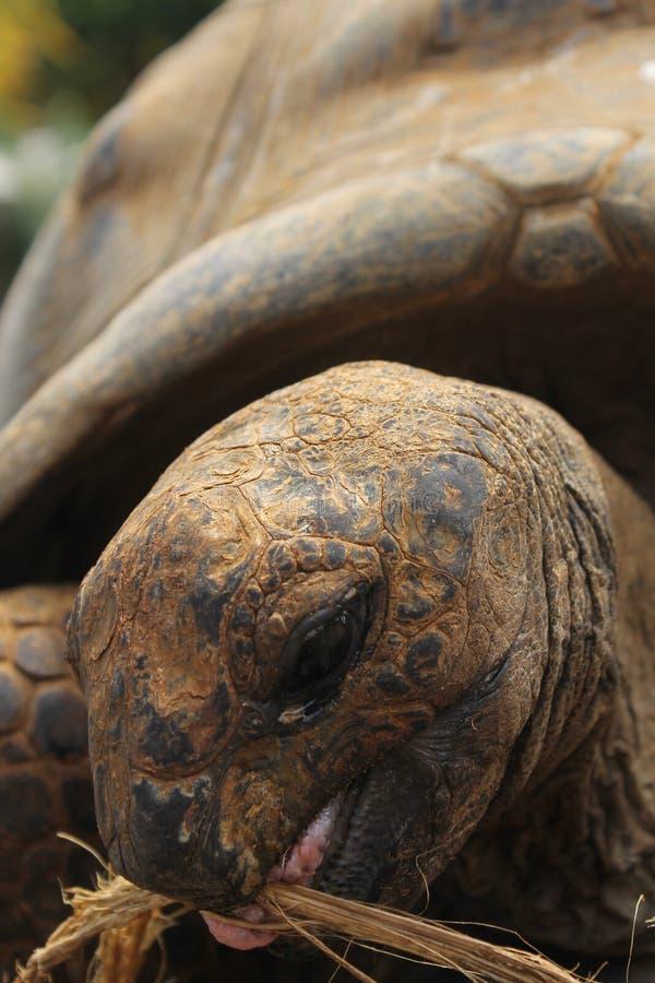 Schildkrötenfütterung stockfotos