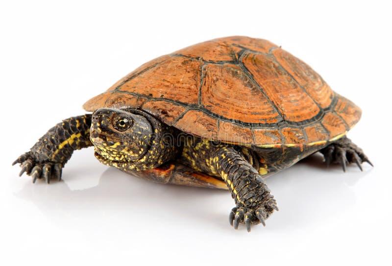 Schildkrötenhaustiertier getrennt auf Weiß lizenzfreie stockbilder