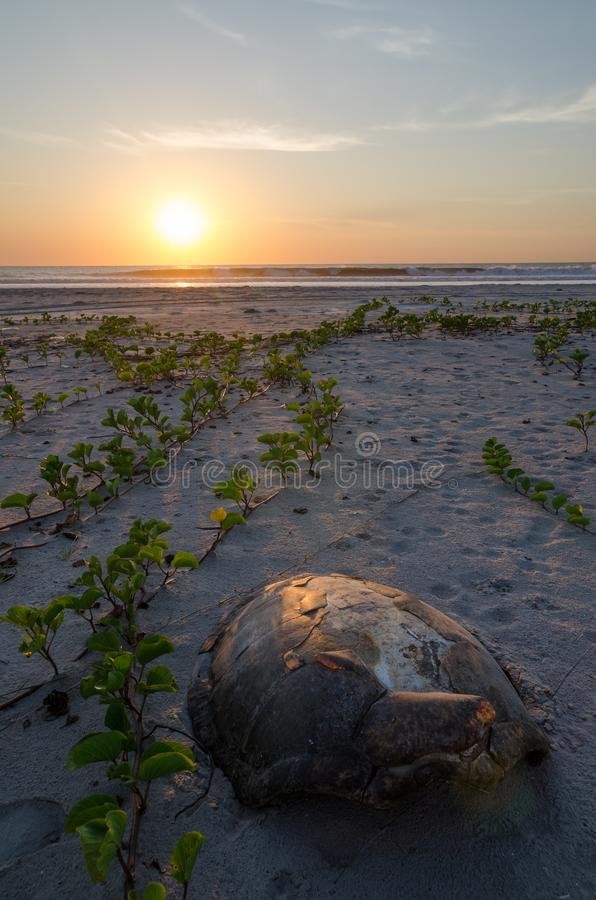 Schildkrötenpanzer, der auf leeren Strand während des schönen Sonnenuntergangs im Casamance, Senegal, Afrika legt stockfotografie
