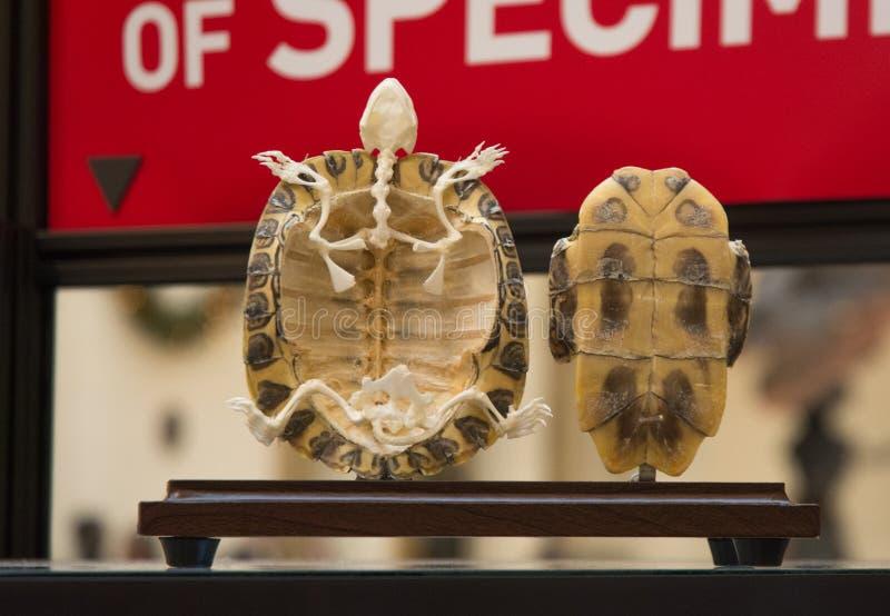 Schildkrötenskelett stockbilder