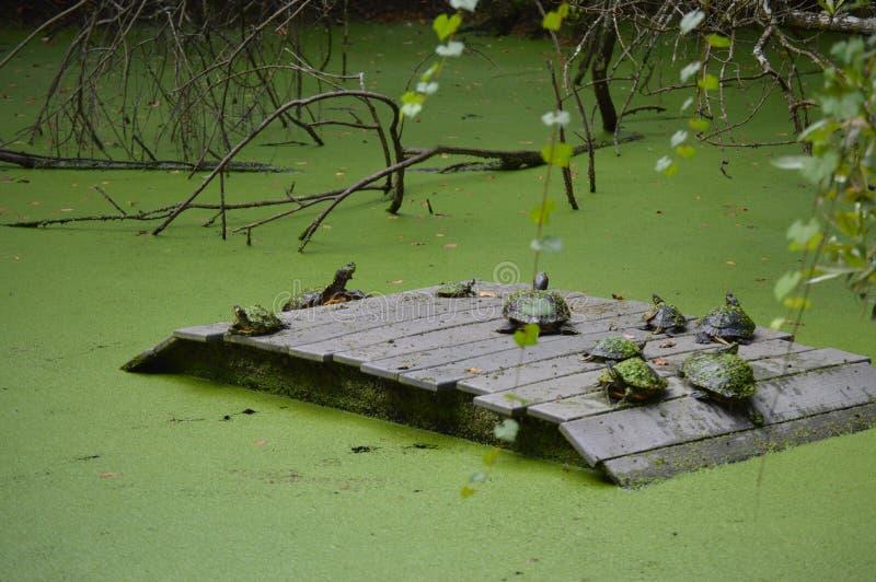 Schildkrötenvereinbarung im Sumpf lizenzfreies stockbild