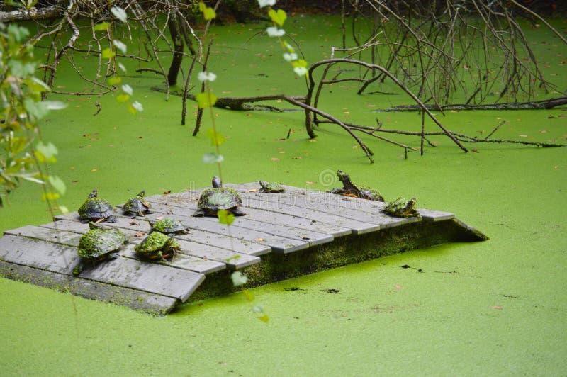 Schildkrötenvereinbarung im Sumpf lizenzfreie stockfotos